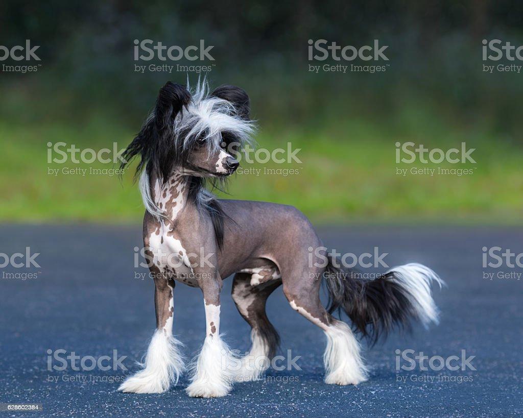 Chinesischer Schopfhund Hunderasse. Männliche Hund. – Foto