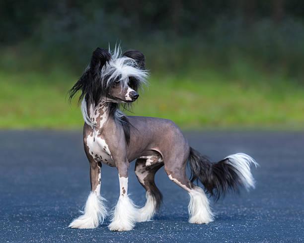 chinesischer schopfhund hunderasse. männliche hund. - chinesische schopfhunde stock-fotos und bilder