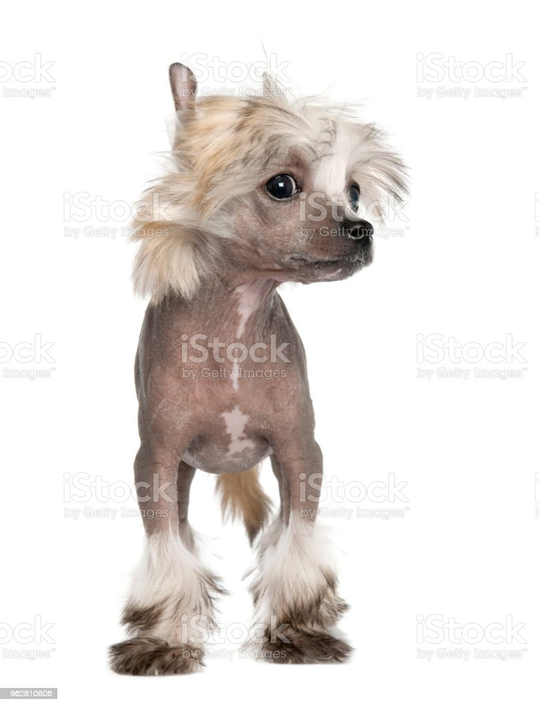 Chinese crested welpen