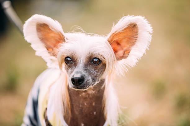 der chinesische schopfhund im freien auf dem grünen rasen. haarlosen rasse des hundes - chinesische schopfhunde stock-fotos und bilder