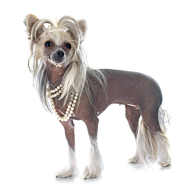 chinesischer schopfhund dog - chinesische schopfhunde stock-fotos und bilder