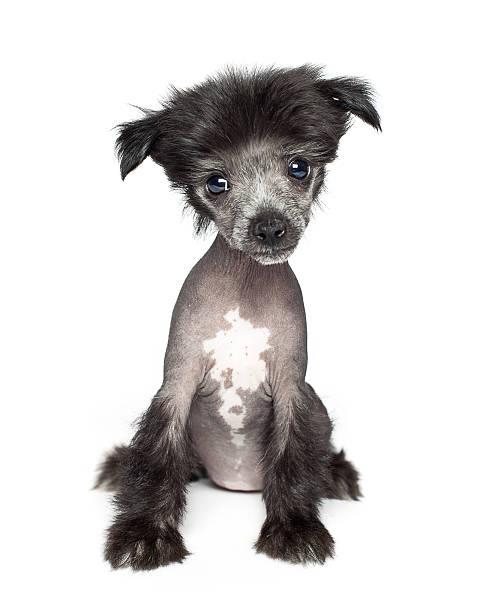 chinesischer schopfhund welpe - chinesische schopfhunde stock-fotos und bilder