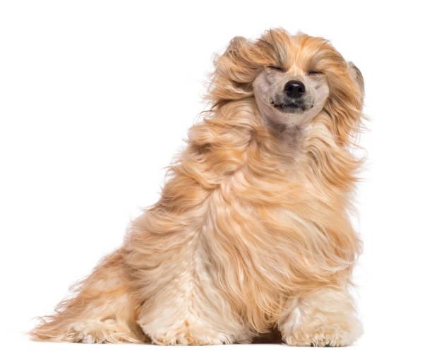 chinesischer schopfhund hundesitting mit seinen geschlossenen augen in den wind vor weißem hintergrund - chinesische schopfhunde stock-fotos und bilder