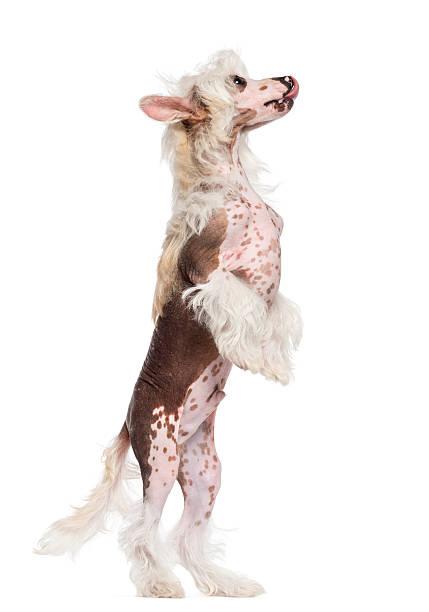 chinesischer schopfhund auf hind beine und blick nach oben - chinesische schopfhunde stock-fotos und bilder