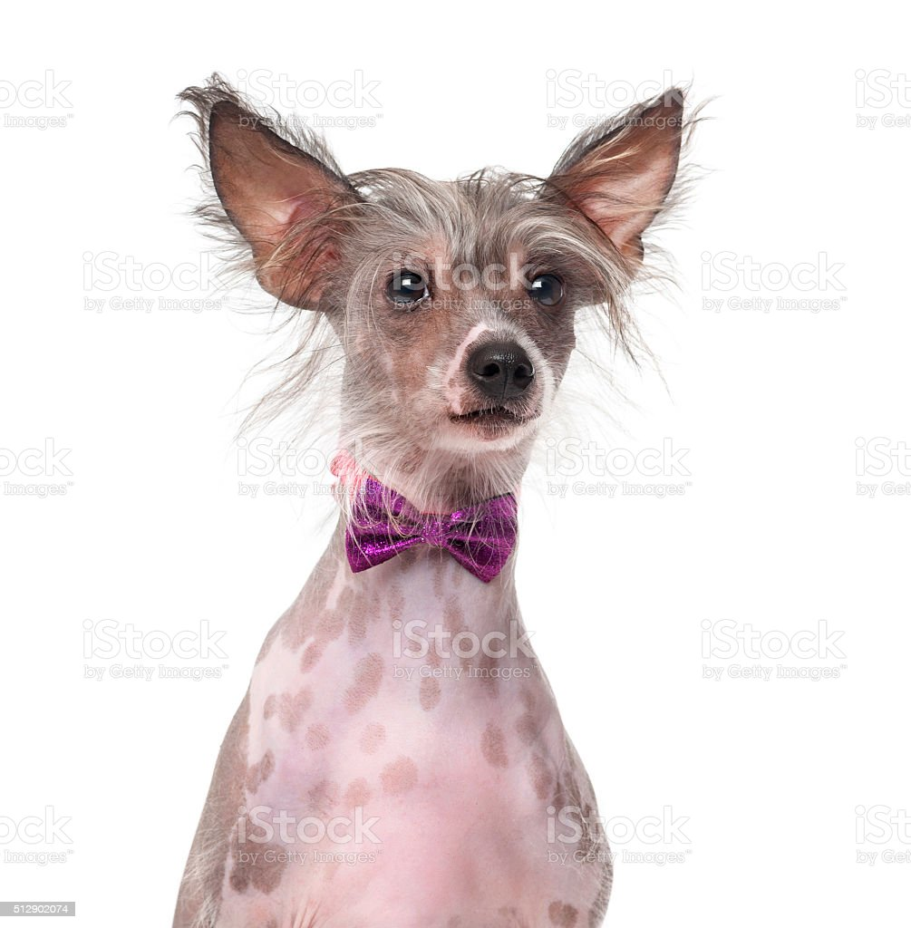 Chinese Crested Dog wearing a bow tie (8 months old) stock photo
