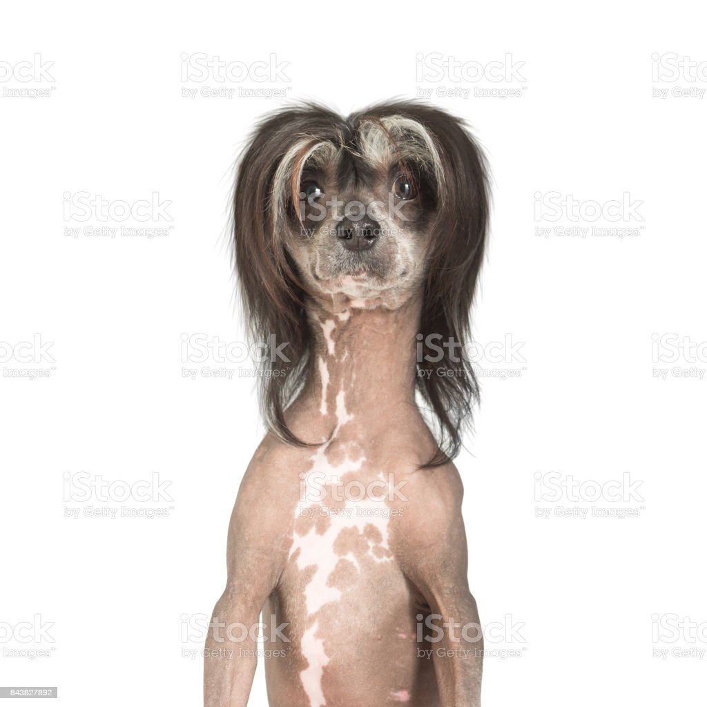 Chinese Crested Dog With Funny Haircut Stock Photo More Pictures