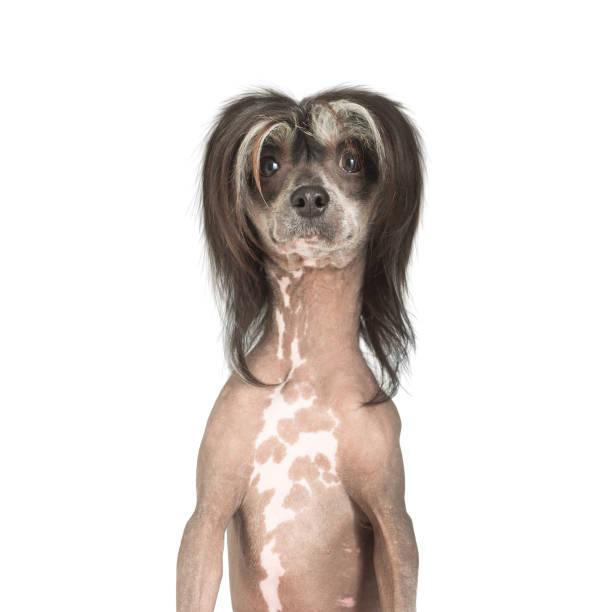 chinesischer schopfhund mit lustigen frisur - chinesische schopfhunde stock-fotos und bilder