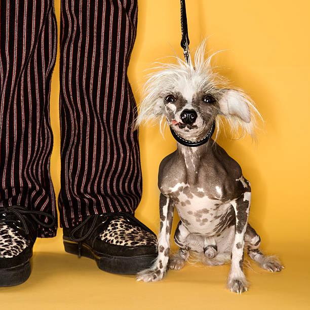 chinesischer schopfhund mit mann. - chinesische schopfhunde stock-fotos und bilder