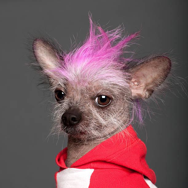 chinesischer schopfhund mit rosa mohawk - chinesische schopfhunde stock-fotos und bilder