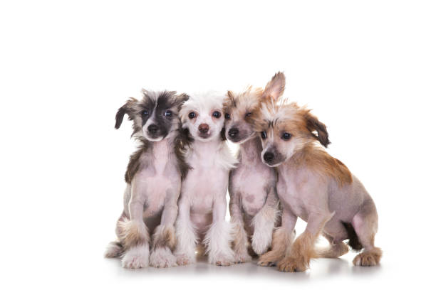 chinese crested dogs auf weißem hintergrund - chinesische schopfhunde stock-fotos und bilder