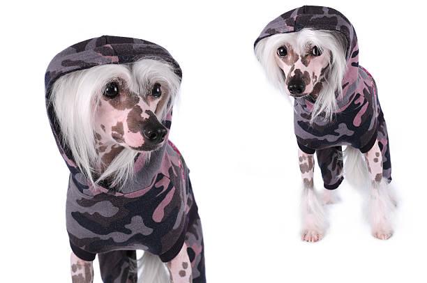 chinesischer schopfhund hunde porträt, isoliert auf weiss - chinesische schopfhunde stock-fotos und bilder