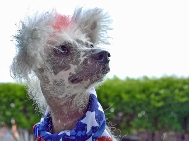 chinese crested hairless dog tragen scarg - schal mit sternen stock-fotos und bilder