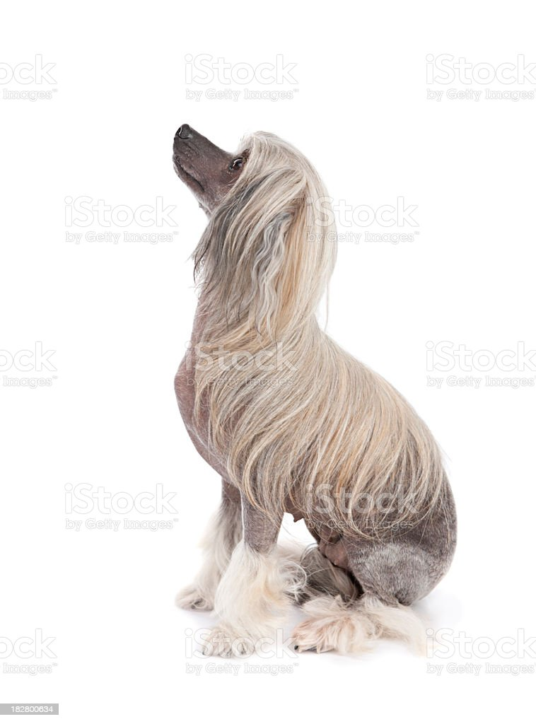 Chinese crested royalty-free stock photo