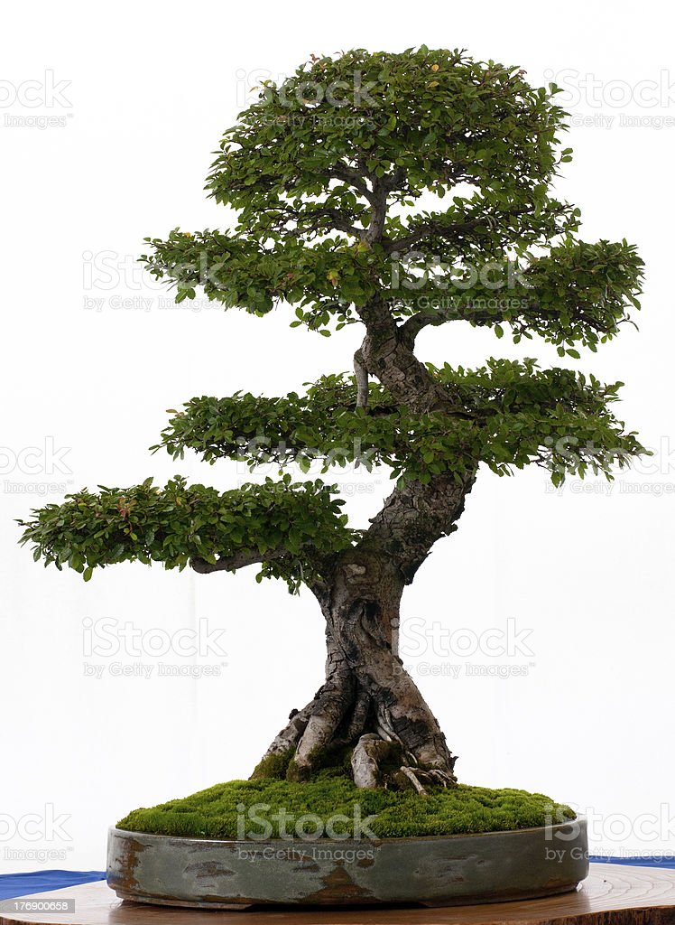 Chinese elm as a bonsai royalty-free stock photo