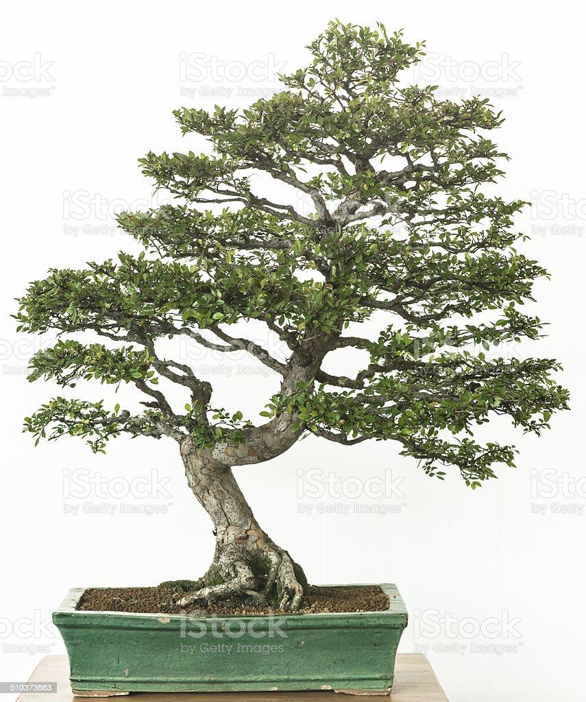Chinese elm as bonsai tree stock photo