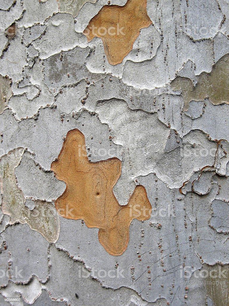 Chinese elm bark, Ulmus parvifolia stock photo