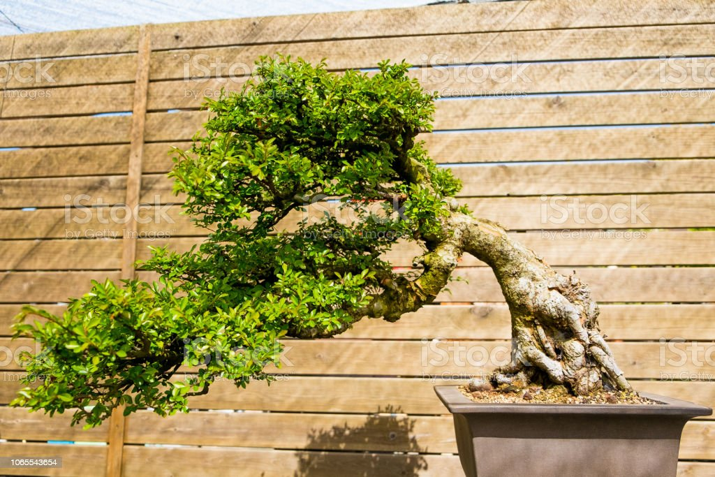 Chinese iep bonsai in zonnige dag in Plantentuin​​​ foto