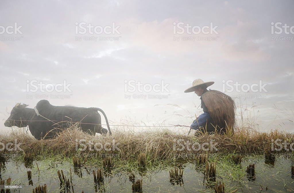 Chinese Farmer Cultuvating Rice Paddy, Ping an, Longsheng, China stock photo