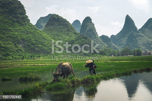 chinese farmer with water buffalo on rice field in Guilin, China