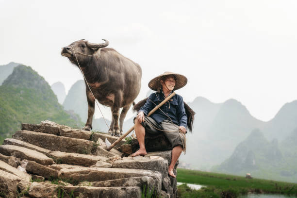 chinese farmer with water buffalo on stone bridge stock photo