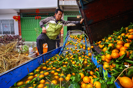 Chinese farmer working on fruit washing machine, processes harvest oranges.