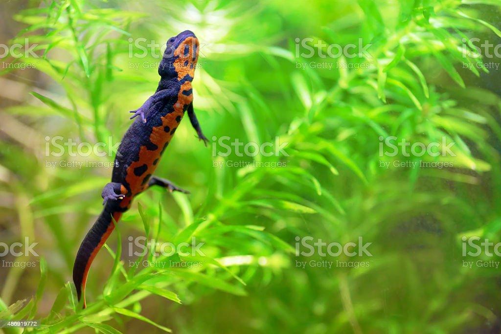 Chinese fire belly newt A chinese fire belly newt, Cynops Orientalis, swimming between aquatic plants Egeria Densa 2015 Stock Photo