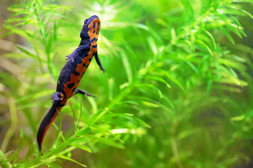 Chinese Fire Belly Newt Stock Photo - Download Image Now