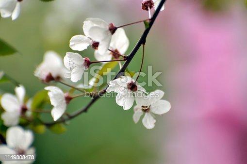 Chinese flowering crabapple in sunrise