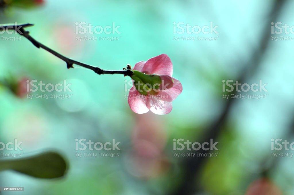 Chinese flowering crabapple stock photo