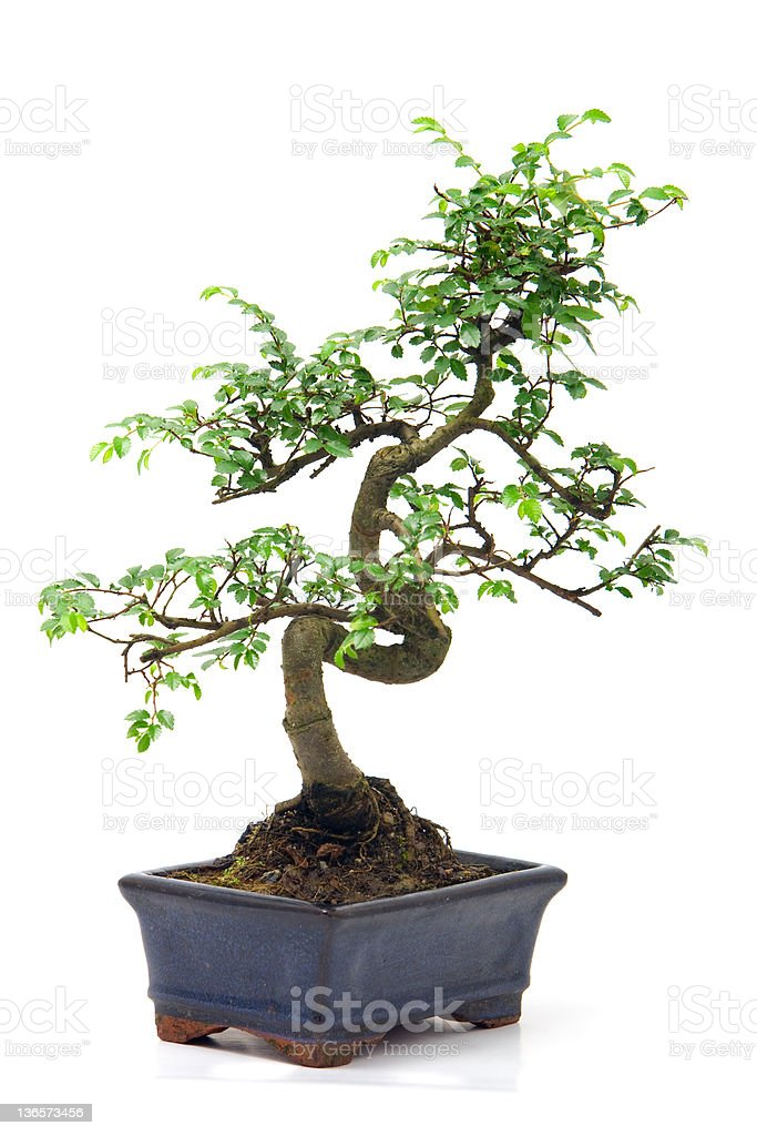Chinese green bonsai tree stock photo