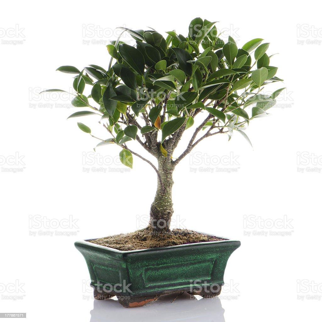 Chinese green bonsai tree royalty-free stock photo