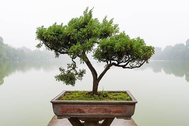 Chinois vert Bonsaï - Photo