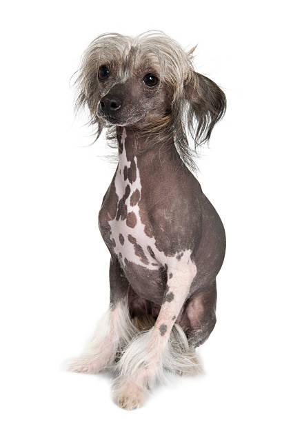 chinesische haarlos schopfhund, 2 jahre alt, sitzt. - chinesische schopfhunde stock-fotos und bilder