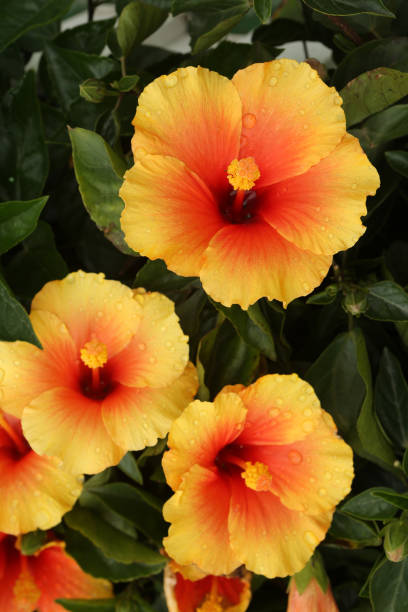 Chinese Hibiscus / Hibiscus Rosa-sinensis stock photo