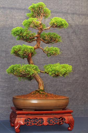 Chinese Juniper Bonsai Tree Stock Photo Download Image Now Istock