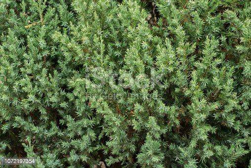 Chinese juniper twigs in garden