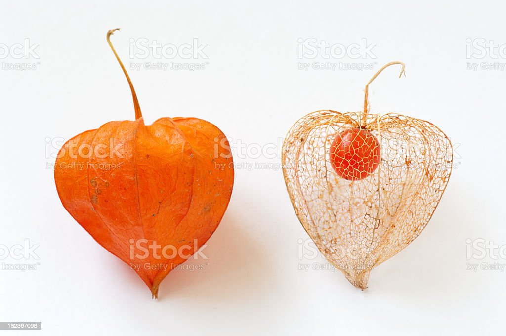 Chinese Lantern Lily Two different stages of the Chinese Lantern Lily (Orange physalis) Autumn Stock Photo