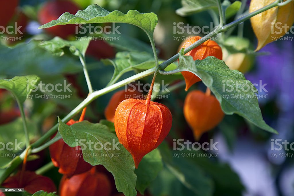 Chinese Lantern Plant royalty-free stock photo