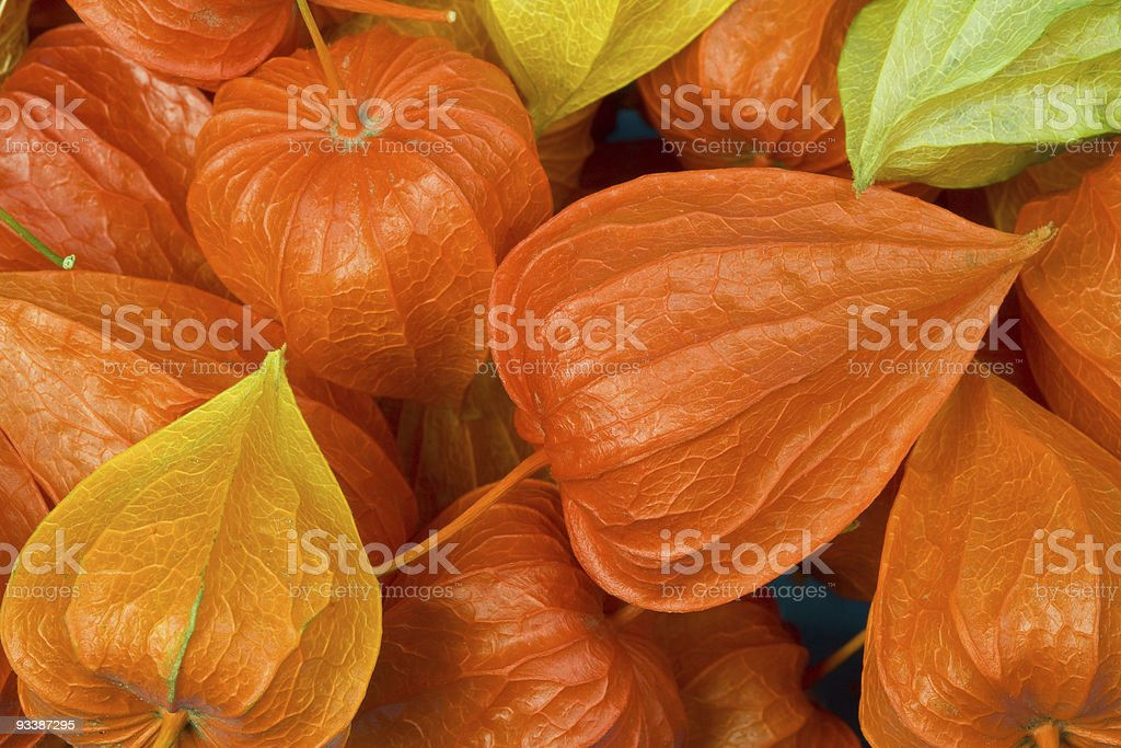 Chinese Lantern Pods (physalis) royalty-free stock photo