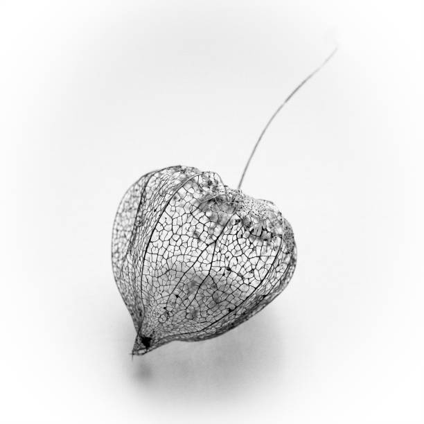 Chinese Lantern seed pod skeleton stock photo