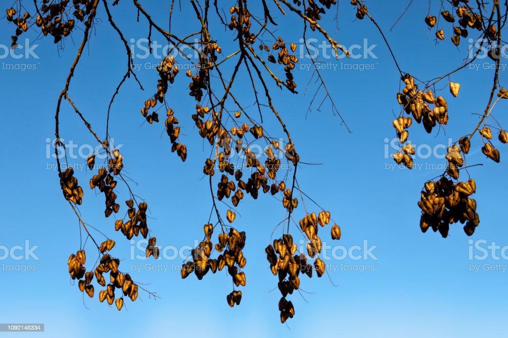 Chinese lanterns Golden rain tree Koelreuteria paniculata in winter stock photo