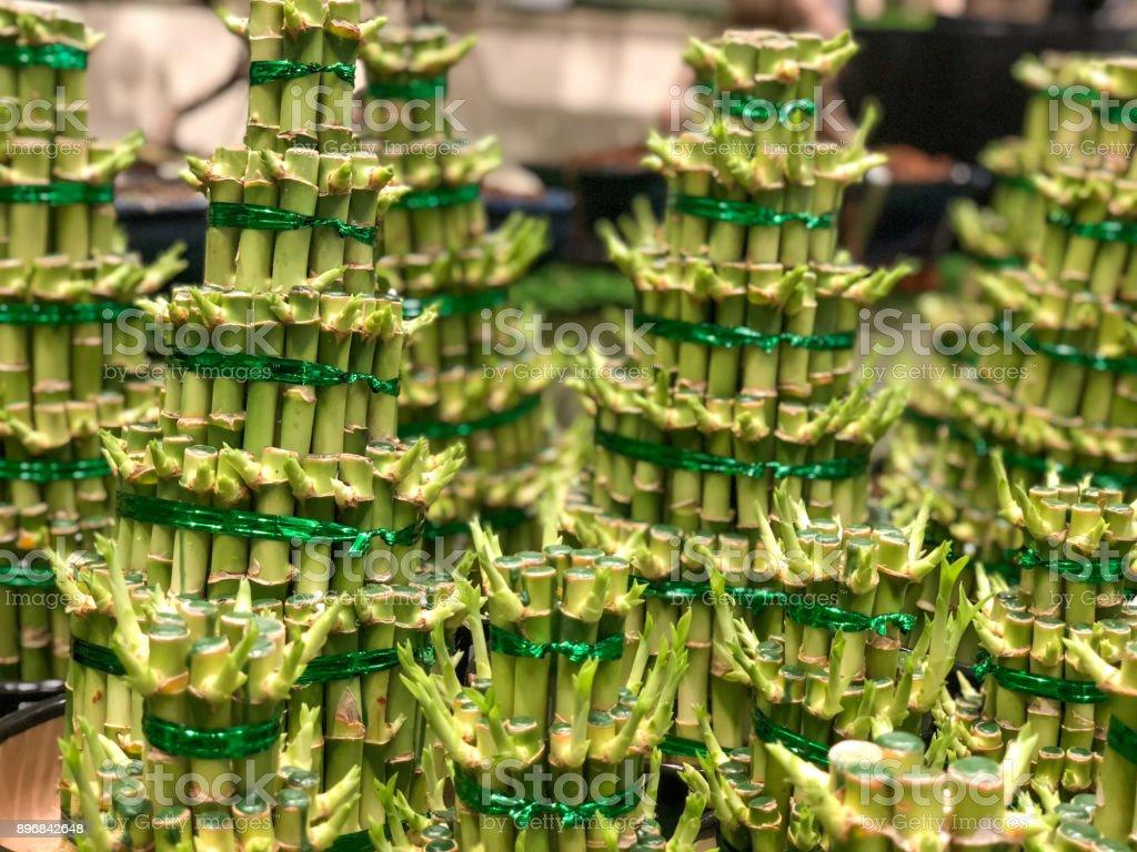 Chinese Lucky Bamboo stock photo