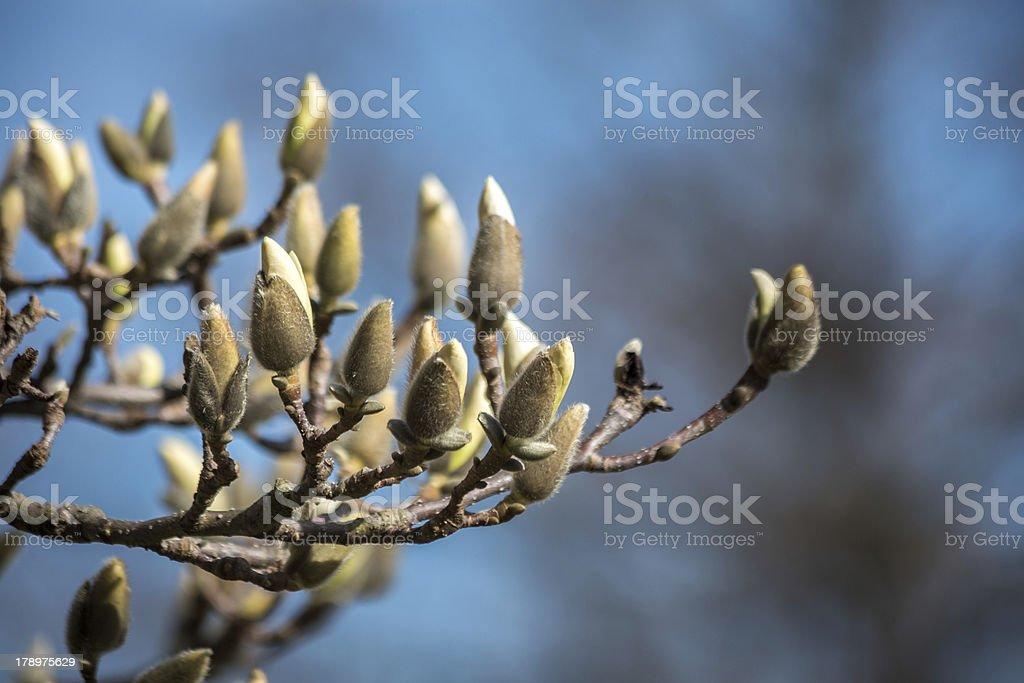Chinese Magnolia Springtime Revival royalty-free stock photo