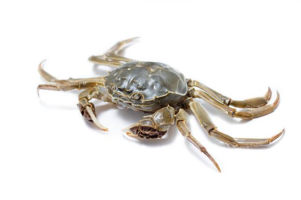 chinese mitten crab - pengpeng stock-fotos und bilder