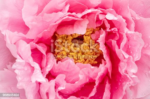 Abstract floral background of pink peony flower damp with dew.