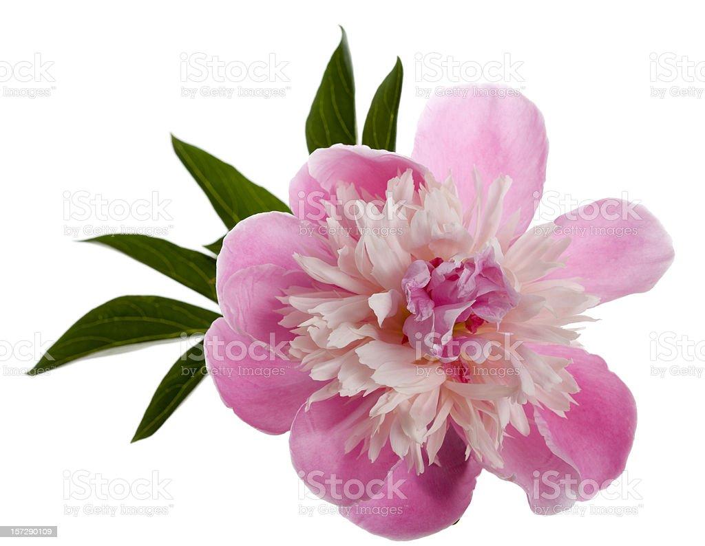 "Chinese Peony  ""Edulis Superba"" (Paeonia lactiflora) royalty-free stock photo"