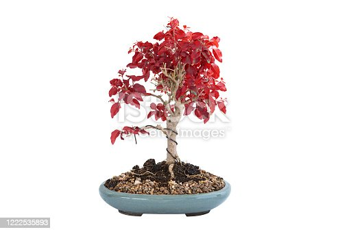 Chinese privet bonsai in autumn colors, isolation over white background for your design ( Ligustrum sinense )