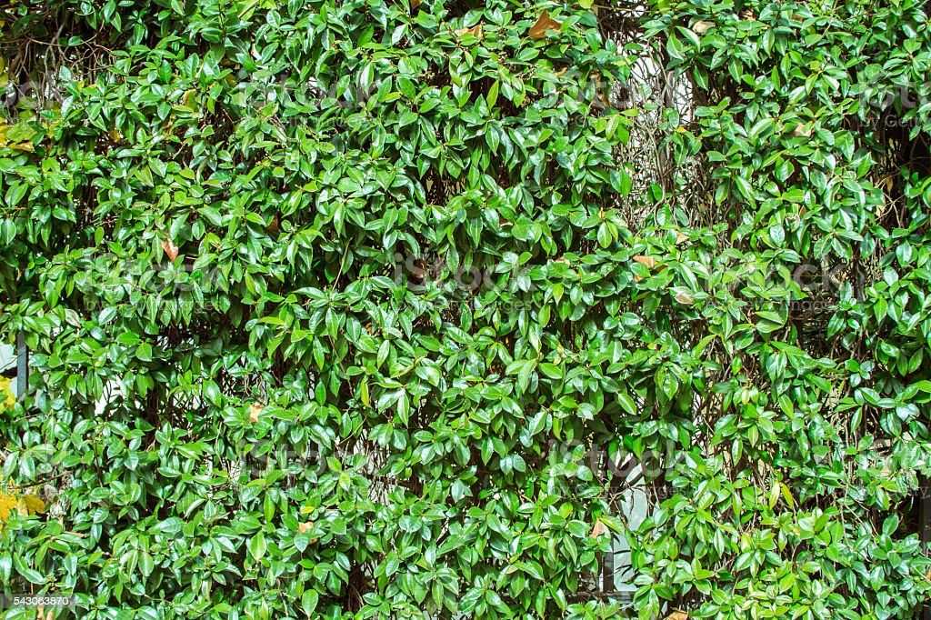 Chinese privet (Ligustrum sinese) with green leaves stock photo