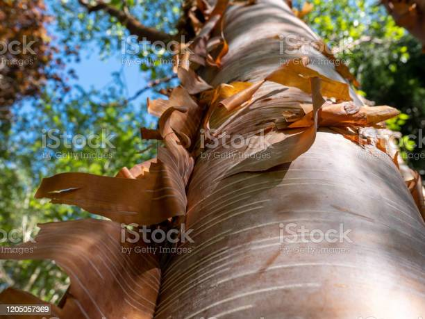 Photo of Chinese red barked birch also known as Betula albosinensis