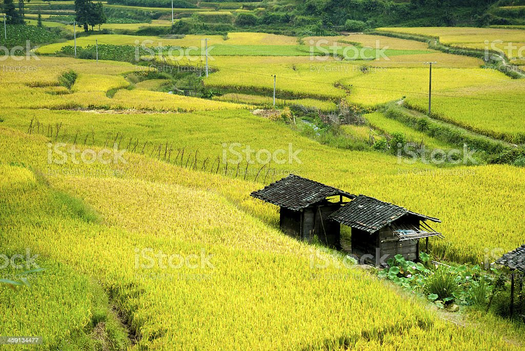 Chinese rice terraces in autumn stock photo